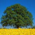 Einzeln stehende, große Eiche im Sommer, davor ein gelbes Rapsfeld