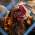 Durch die Masche eines Zaunes sieht an einen Hahn mit rotem Kamm und braunem Gefieder