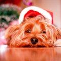 Ein Hund liegt unter einem Weihnachtsbaum und guckt traurig