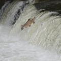 Ein Lachs springt gegen den Strom flussaufwärts