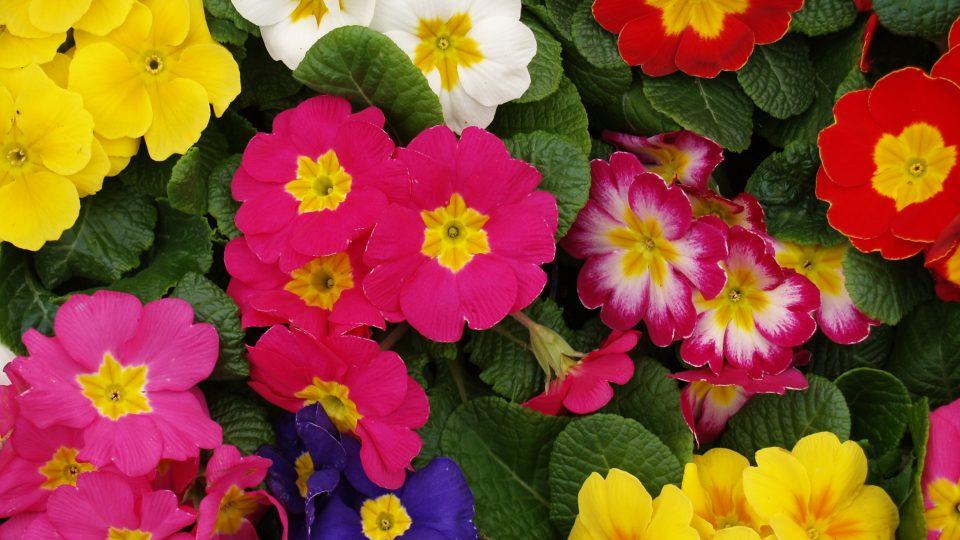 Blumenblüten - viele bunte Primeln