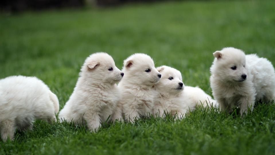 Fünf weiße Hundewelpen sitzen auf einer Wiese